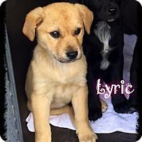 Adopt A Pet :: Lyric - Foster / 2017 - Maumelle, AR