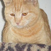 Adopt A Pet :: Cricket - Kensington, MD