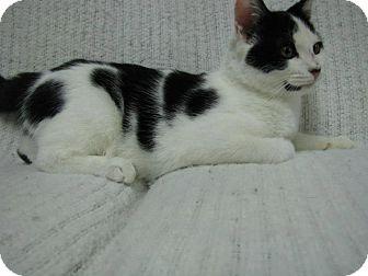 Domestic Shorthair Kitten for adoption in East Hanover, New Jersey - Jackson
