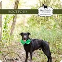 Adopt A Pet :: Bocepous - Lewisville, IN