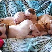 Adopt A Pet :: litter of puppies - Flint (Serving North and East TX), TX