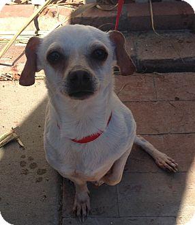 Dachshund/Rat Terrier Mix Dog for adoption in Santa Ana, California - Zippy