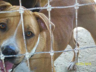 Shepherd (Unknown Type)/Terrier (Unknown Type, Medium) Mix Dog for adoption in Mexia, Texas - Blaze