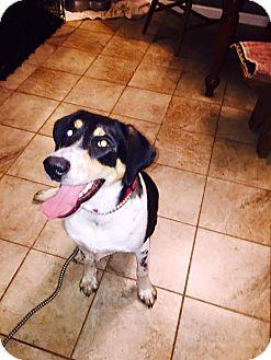 Labrador Retriever/Black and Tan Coonhound Mix Puppy for adoption in Salem, Oregon - Maggie