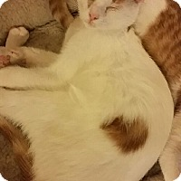 Domestic Shorthair Cat for adoption in Rockford, Illinois - Peiper