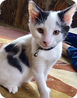 Domestic Shorthair Kitten for adoption in Franklin, Indiana - Mickey