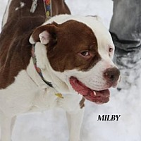 American Pit Bull Terrier Dog for adoption in Denver, Colorado - Milby