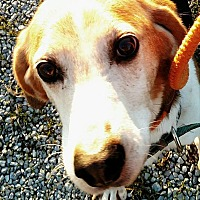 Foxhound/Treeing Walker Coonhound Mix Dog for adoption in Sweetwater, Tennessee - Uncle Fester