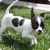 Adopt A Pet :: Cleopatra - Henderson, NV