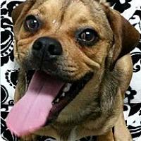 Adopt A Pet :: Pete - Springdale, AR