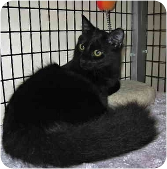 Domestic Longhair Cat for adoption in Deerfield Beach, Florida - Melody & Kohl