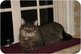 Domestic Shorthair Cat for adoption in Jenkintown, Pennsylvania - Charlie