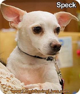 Chihuahua Mix Dog for adoption in Pitt Meadows, British Columbia - Speck