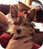Yorkie, Yorkshire Terrier Mix Puppy for adoption in Cleveland, Ohio - Trinket