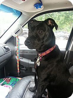 Terrier (Unknown Type, Medium) Mix Dog for adoption in Norman, Oklahoma - Scarlett
