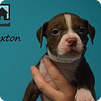 Adopt A Pet :: Broxton - Chicago, IL
