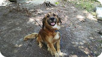 Spaniel (Unknown Type) Mix Dog for adoption in Richmond, Virginia - Brownie