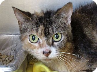 Domestic Shorthair Cat for adoption in Windsor, Virginia - Omisace