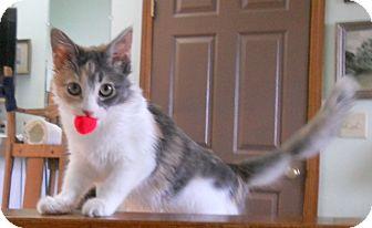 Domestic Mediumhair Kitten for adoption in Prescott, Arizona - Polly