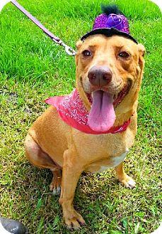 Labrador Retriever Mix Dog for adoption in Simsbury, Connecticut - Lorna Diamond
