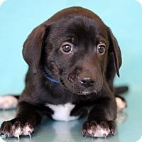 Adopt A Pet :: Hamburger - Waldorf, MD