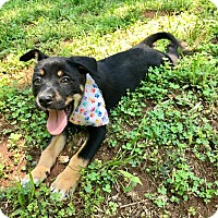 Adopt A Pet :: Calypso (RBF) - Hagerstown, MD
