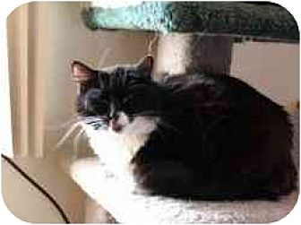 Domestic Longhair Cat for adoption in Pasadena, California - Domino