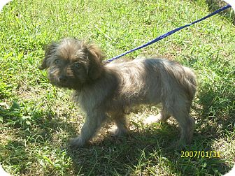 Shih Tzu/Poodle (Miniature) Mix Puppy for adoption in bridgeport, Connecticut - Dale