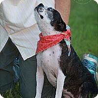 Adopt A Pet :: Stella - Albany, NY