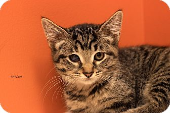 Domestic Shorthair Kitten for adoption in Flushing, Michigan - Tiger