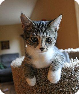 Domestic Shorthair Kitten for adoption in Nashville, Tennessee - Cozmo