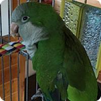 Parakeet - Quaker for adoption in Asheville, North Carolina - Eli