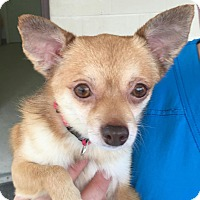 Chihuahua/Pomeranian Mix Dog for adoption in Mount Pleasant, South Carolina - Coco