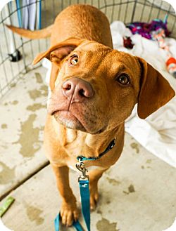 Carolina Dog/Boxer Mix Puppy for adoption in Red Lion, Pennsylvania - ROLO