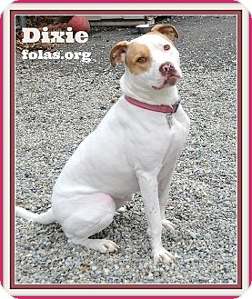 American Bulldog/Boxer Mix Dog for adoption in Linden, New Jersey - DIXIE