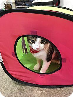 Domestic Shorthair Kitten for adoption in Boca Raton, Florida - Thomas