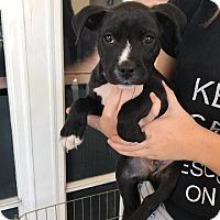 Adopt A Pet :: Ron - Manhattan Beach, CA