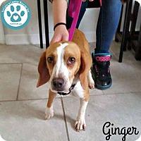 Adopt A Pet :: Ginger - Kimberton, PA