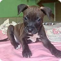 Adopt A Pet :: Beans - Santa Ana, CA