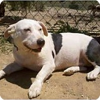 Basset Hound/Terrier (Unknown Type, Medium) Mix Dog for adoption in Acton, California - Potato