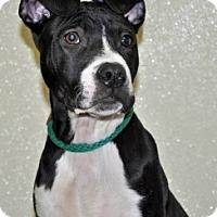Adopt A Pet :: Oreo - Port Washington, NY