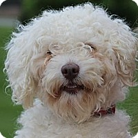 Adopt A Pet :: Scrappy - South Amboy, NJ