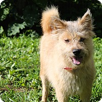 Adopt A Pet :: Scruffy - Hixson, TN