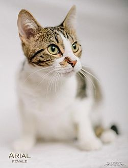 Domestic Shorthair Cat for adoption in St. Louis, Missouri - Arial (Courtesy Post)
