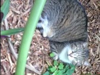 Domestic Shorthair Cat for adoption in Naples, Florida - Daisy