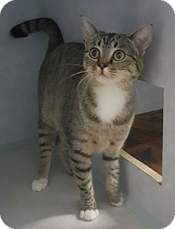 Domestic Shorthair Cat for adoption in Cody, Wyoming - Effie