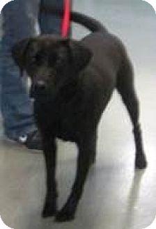 Labrador Retriever Mix Dog for adoption in Columbus, Indiana - Cali