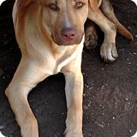 Adopt A Pet :: Duke-Courtesy Post - Chesterfield, MI