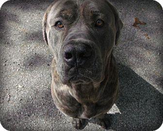 Cane Corso Dog for adoption in Muskegon, Michigan - Roscoe