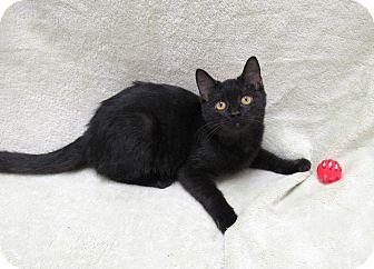 Domestic Shorthair Kitten for adoption in Lexington, North Carolina - MAVIS